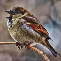 Sparrowlicious