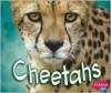 Cheetahs - Deborah Nuzzolo, Gail Saunders-Smith