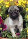 Just Pugs Jigsaw Puzzle - Willow Creek Press