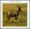 Antelopes - Lynn M. Stone