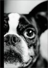 French Bulldog Journal - Henry Hornstein