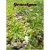 Gracelynn - M.B. Forester-Smythe