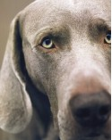 William Wegman Polaroids - William Wegman