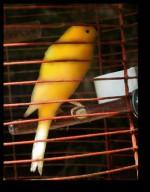 Brass Canaries - Gwendolyn Clare
