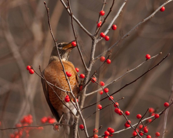 American robin (Great Meadows, Concord, MA)