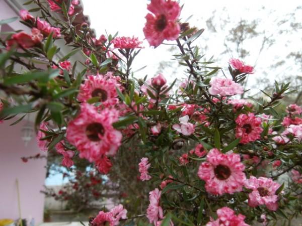 Leptospermum (?)