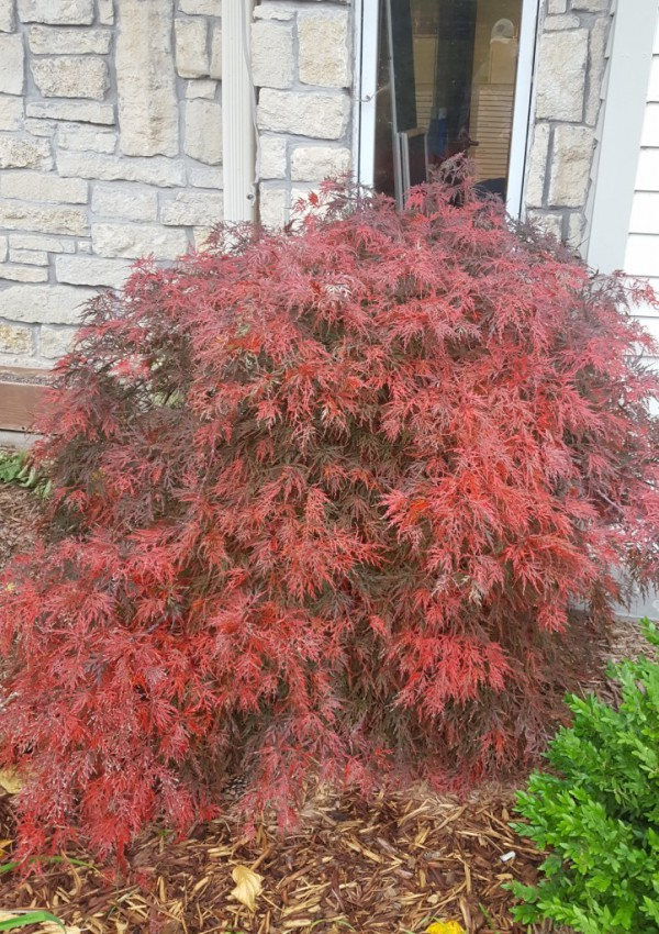 Small Trees For Yards At Online Garden Center