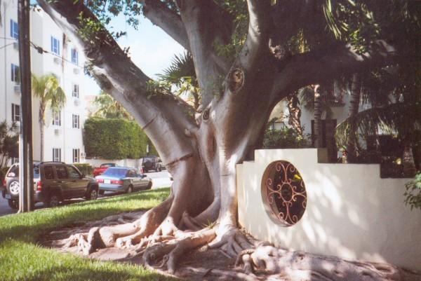 Banyan Tree, Miami Beach, Florida
