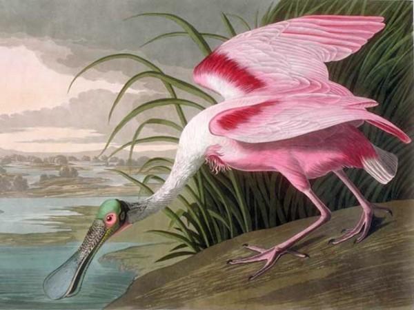 Audubon folio - Roseate spoonbill
