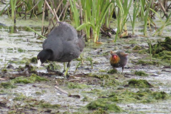 Coot parent with baby