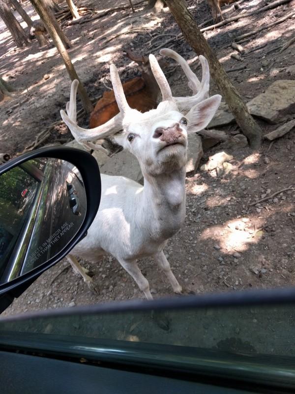 White deer?