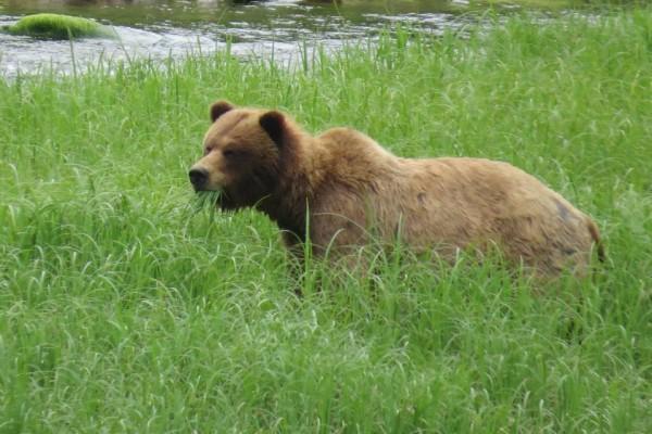 Bear eating sedges