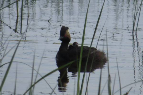 Eared grebe with 2 young on back