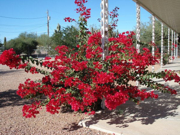 bougainvillea, day before Thanksgiving