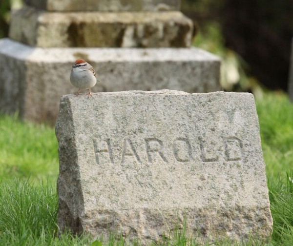 Harold the chipping sparrow