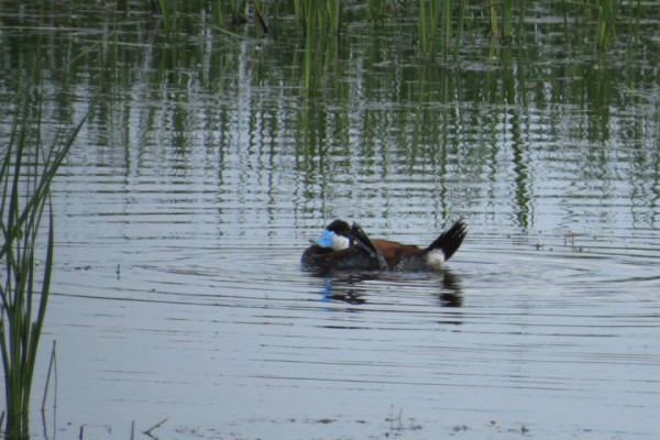 Male Ruddy duck, scratching an itch