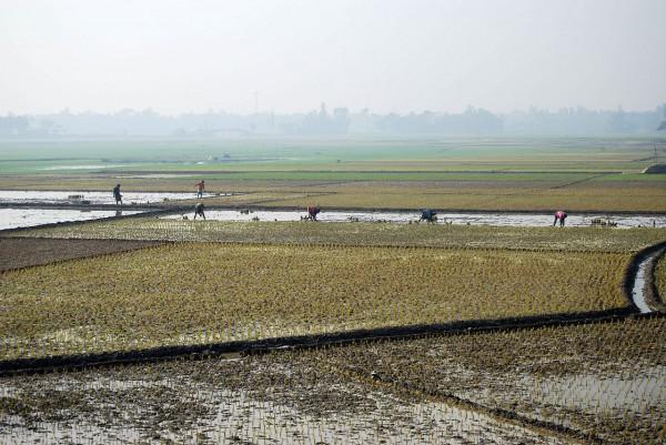Pola ryżowe (Bangladesz, 2012 r.)