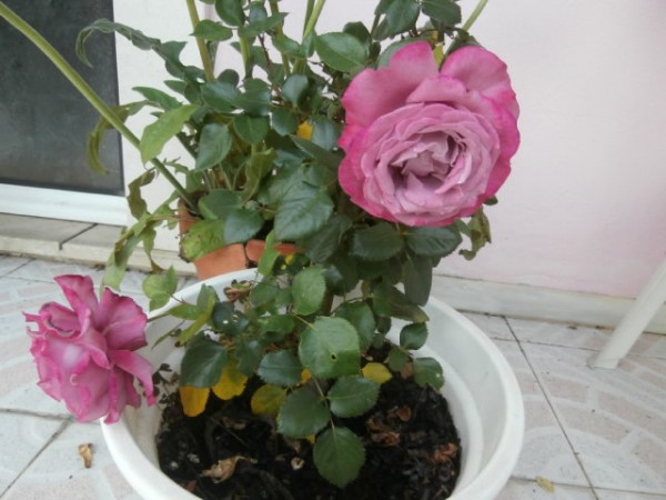 One of the roses that I keep in vases