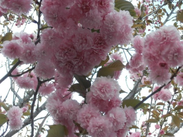 Japonese Cherry flowers