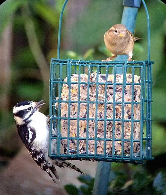 Downy woodpecker and house sparrow
