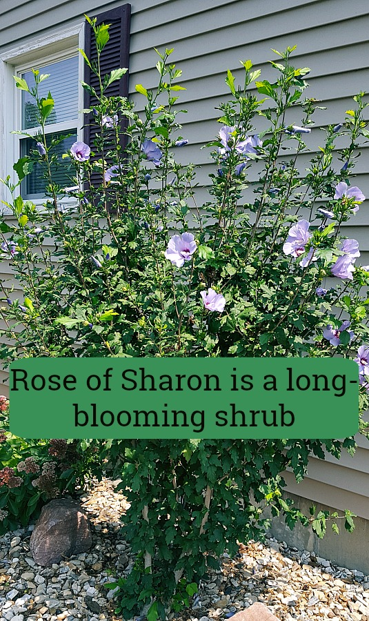 Add Beautiful Rose-of Sharon to the Landscape
