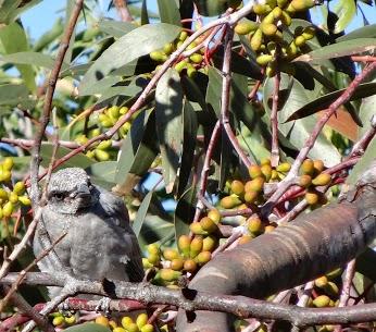 Cuckoo shrike fledgling