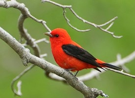 Scarlet tanager (photo by Gerrit Vyn)