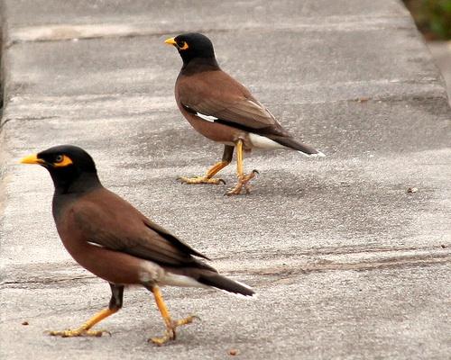 Myna birds in Hawaii