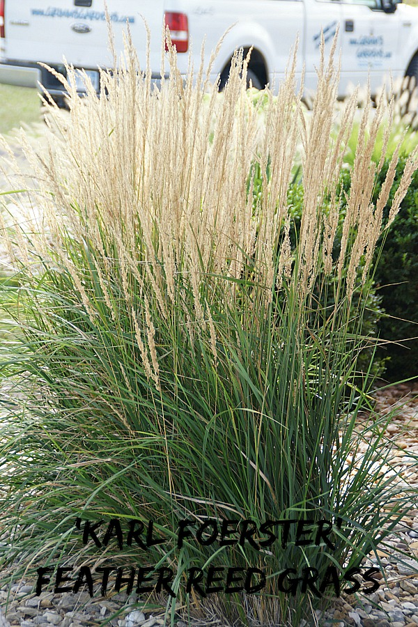Landscaping With Perennial - Karl Foerster Feather Reed Grass