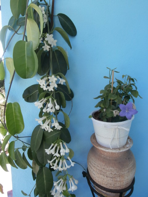 Stephanotis and platycodon